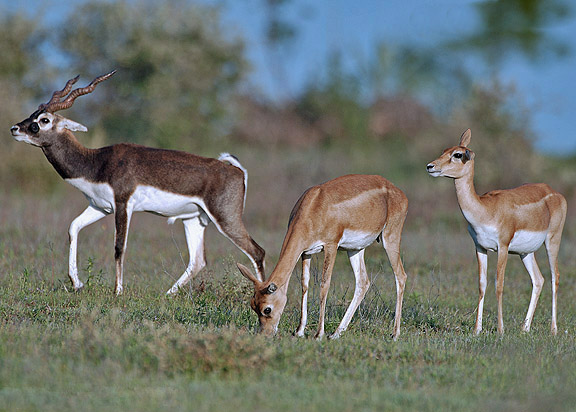 blackbuck_male_female.jpg