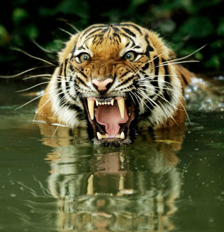 Project Tiger Survey Bengal Tiger Population Plummets In India